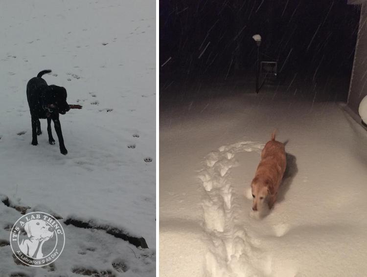 019-Winter_Play_Snow_blizzard_labrador_retrievers_