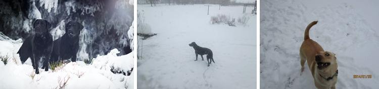 020-Winter_Play_Snow_blizzard_labrador_retrievers_