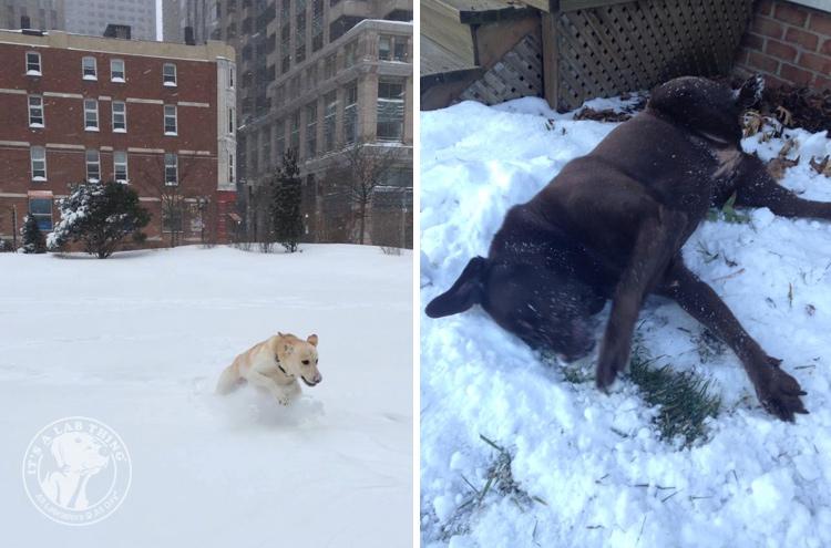 022-Winter_Play_Snow_blizzard_labrador_retrievers_