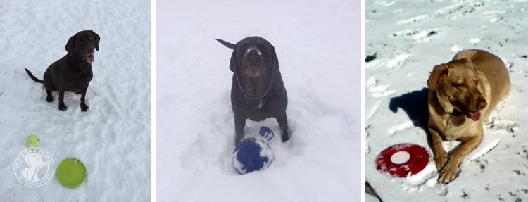 023-Winter_Play_Snow_blizzard_labrador_retrievers_