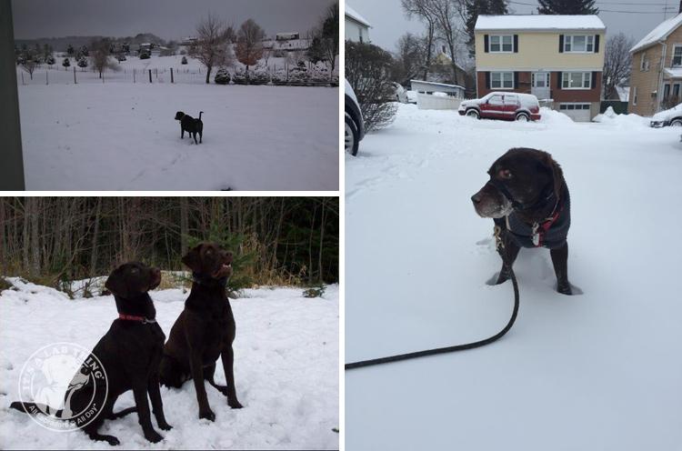 024-Winter_Play_Snow_blizzard_labrador_retrievers_