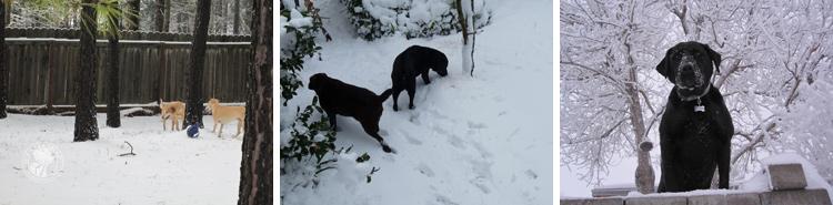025-Winter_Play_Snow_blizzard_labrador_retrievers_