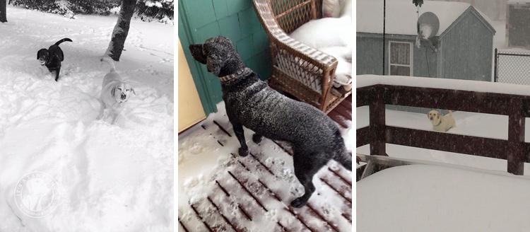 029-Winter_Play_Snow_blizzard_labrador_retrievers_