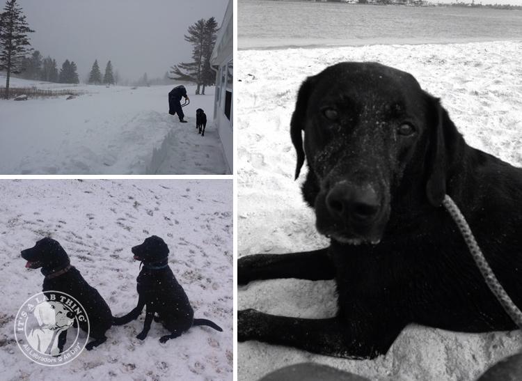 030-Winter_Play_Snow_blizzard_labrador_retrievers_