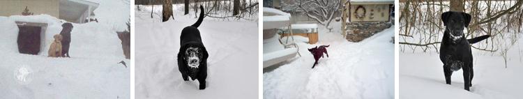 032-Winter_Play_Snow_blizzard_labrador_retrievers_