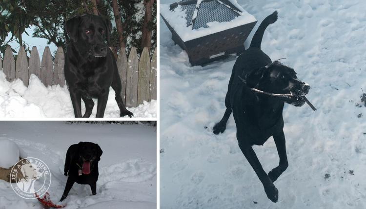 033-Winter_Play_Snow_blizzard_labrador_retrievers_