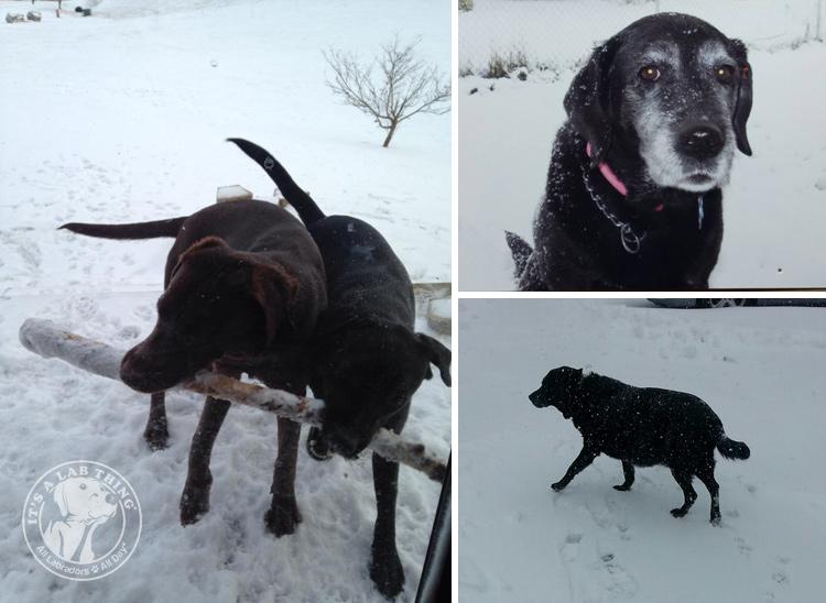 034-Winter_Play_Snow_blizzard_labrador_retrievers_