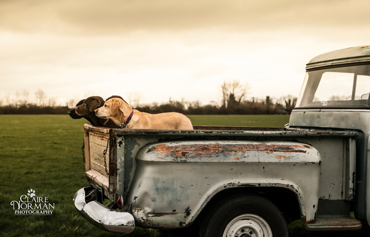 002-awesome-labrador-dog-photography-claire-norman-sunset-chevy-labs