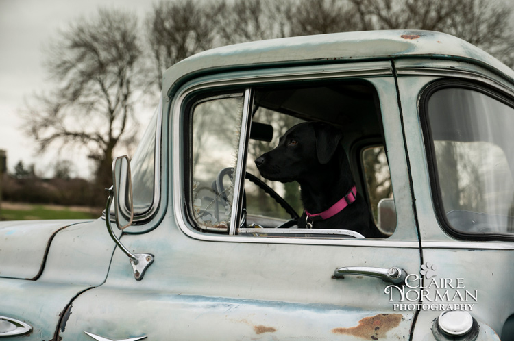 003-awesome-labrador-dog-photography-claire-norman-sunset-chevy-labs