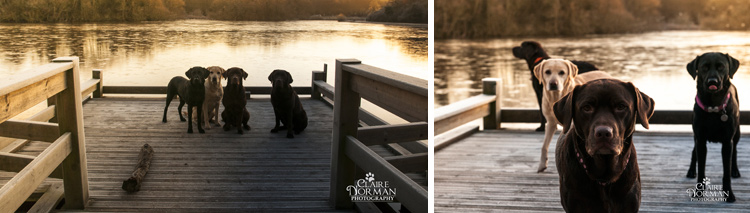 004-awesome-labrador-dog-photography-claire-norman-sunset-chevy-labs