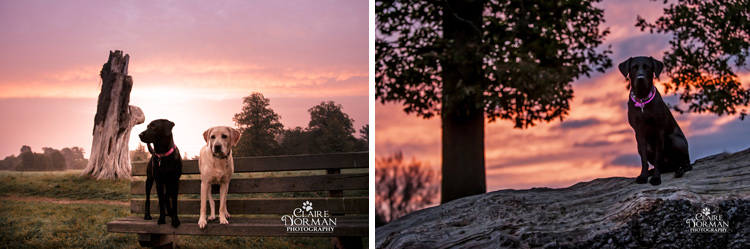 005-awesome-labrador-dog-photography-claire-norman-sunset-chevy-labs