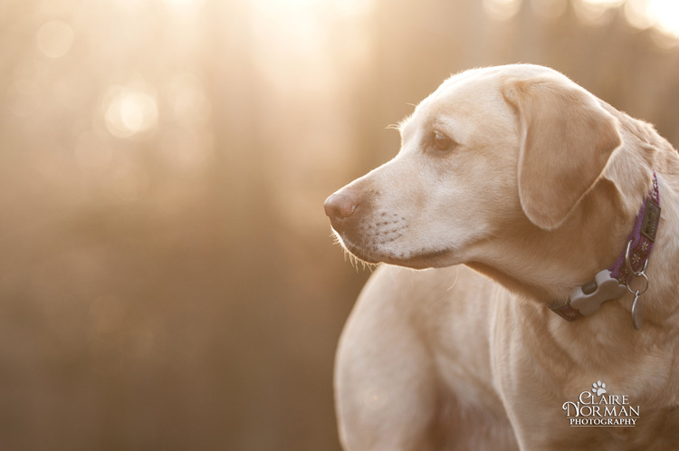 007-awesome-labrador-dog-photography-claire-norman-sunset-chevy-labs