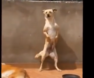 Viral Video of Dancing Latin Labrador Mix
