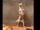 dancing latin labrador